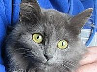 Calvin's story Calvin-Russian Blue X male kitten ~ 4-5