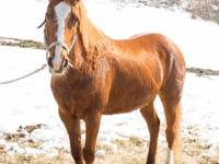 Calypso is a 9 year old Quarter Horse mare. She is