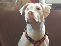 Camaro is a deaf, young pit bull terrier who is still