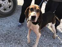 Cambridge- 18148D  6 year old male Hound Current on