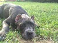 4 mo blue male cane Corso Utd on shots Kennel trained