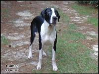 Cameo is a beautiful Merle Mantle Female. Her Mother,