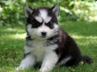 Cameron is an �oh so cute� Pomsky puppy. Text For more