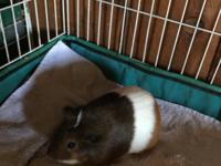 Camille is a young and pretty female guinea pig. She is