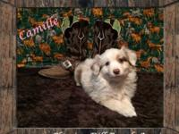 Raised ASDR Toy/ Mini Aussie Puppies. Camille ~ Mini