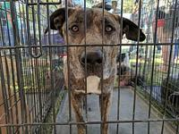 Camo's story Camo is a 5 year old mastiff mix. He is a