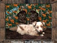 BEACH BLVD. Raised ASDR Toy/ Mini Aussie Puppies. Camo