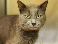 Camper's story Camper- silver male with yellow eyes/