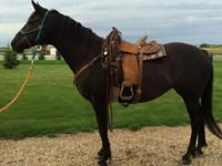 Ebony is a 16 hh black Canadian Warmblood mare, 17
