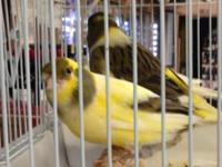 Hi I have couple canaries for rehome $50-60 call