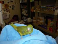 Waterslagers canaries males and hens now available for