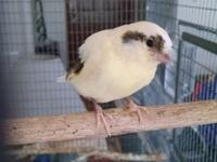 Male Gloster, 1 year old, green (sparrow colored) with