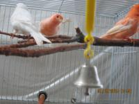 mosaic ..white.and red factor canaries for sale