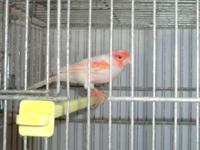 I have various canaries for sale, consisting of