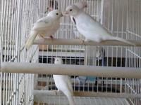 I have males canaries for sale. Feathers in good