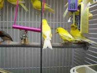 i have some beautiful canaries for sale 30.00 call me