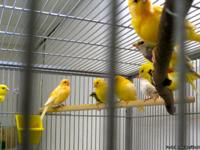 I HAVE SEVERAL BEAUTIFUL SINGING CANARIES FOR SALE.