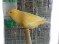 Canaries for sale yellow $35 white $40 Red $45 frill