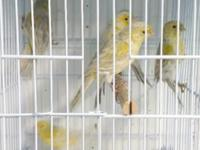 We have some spare canaries for sale that I will not be