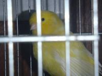 -Beautifl pair of Yellow breeders one year old, working