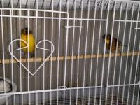Hello Every One. I Have a really gorgeous Canaries