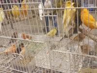 I have Over 200 canaries for sale , $50 each please