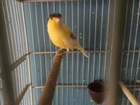 Young, health and great singer birds. I have gloster,