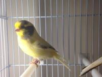 I have a couple of dozen Canaries left over from the