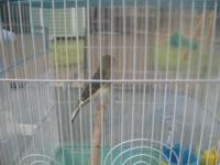 I HAVE 2014 FEMALE CANARY FOR SALE $ 60.00 FOR MORE