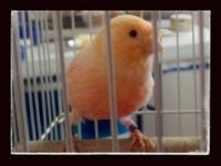 Canary's for sale. Red males, red to peach colored