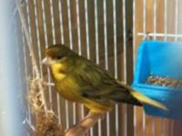 Male 2 year old Canary with cage, owner had to go into