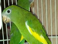 This pair of Canary Winged Parakeets, aka Canary Winged