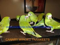 I have Canary Winged Parakeets infants available for