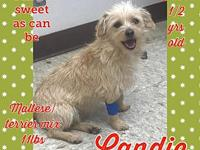 Candi's story Candi is a 1 1/2 year old maltese/terrier