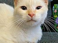 Candle's story Candle is a male flame-point Siamese