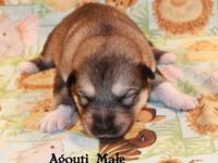 Alaskan Malamute Male Puppies dob 7-15-2013, AKC