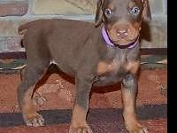Candy is a red/rust Champion sired Doberman female ,