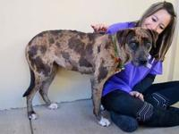 Candy's story I'm Candy, a (44 lb) 1 year old Catahoula