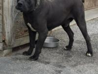 Cane Corso Male 3 yr old contact me: James @  yes they