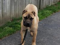 Cane Corso Female 6 months old contact me: James @  yes