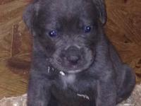 Beautiful Cane Corso puppies for sale. Puppies were