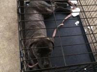 Pure Bred 7month old female Brindle Cane Corso
