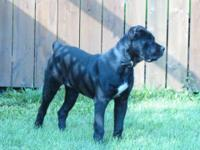 GREAT CANE CORSO (FEMALE) FOR SALE !!! GREAT WITH KIDS,