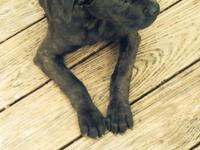 Black brindle cane corso puppy born on December 5th