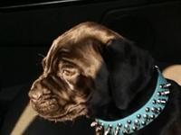 Cane Corso Itallino Mastif Puppy. Female. Purebred, 16