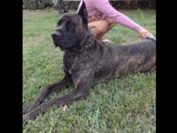 A KONCORE is a cane corso hybred made form the blood of