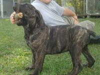 I have 1 Cane Corso pup, 18 weeks old. 1 male that is