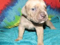 """Cane Corso """"Italian Mastiff"""" Male Born August 20, 2014."""