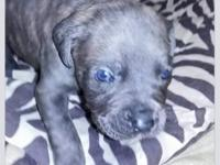Now taking deposits for Cane Corso puppies. They are