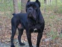 Cane Corso Italian Mastiff Puppies available. Born